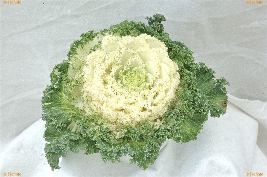Brassica-oleracea