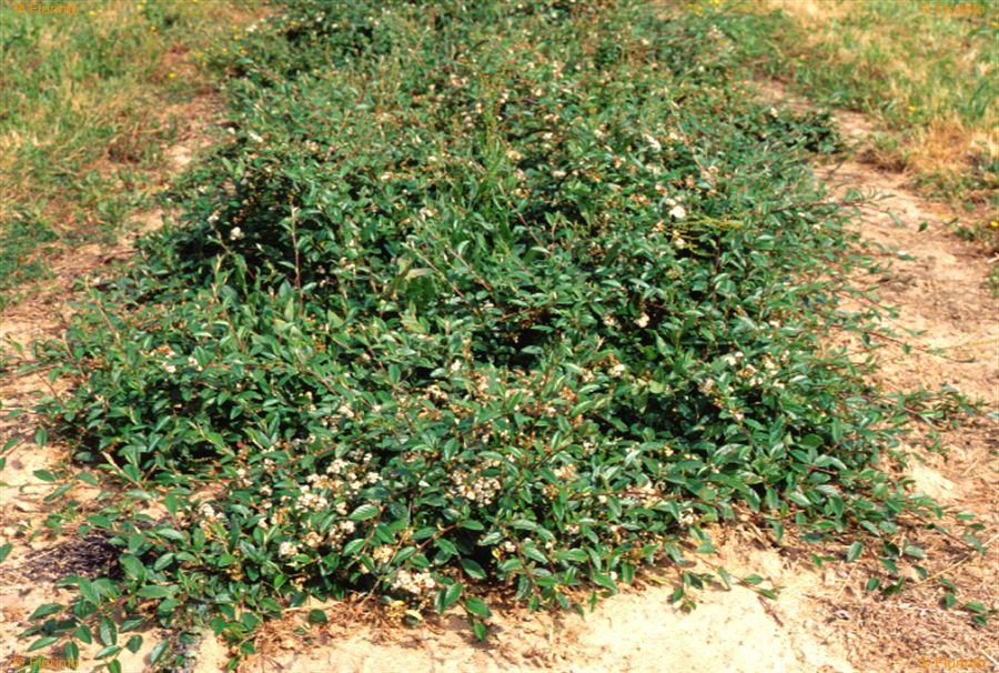 Cotoneaster-salicifolius