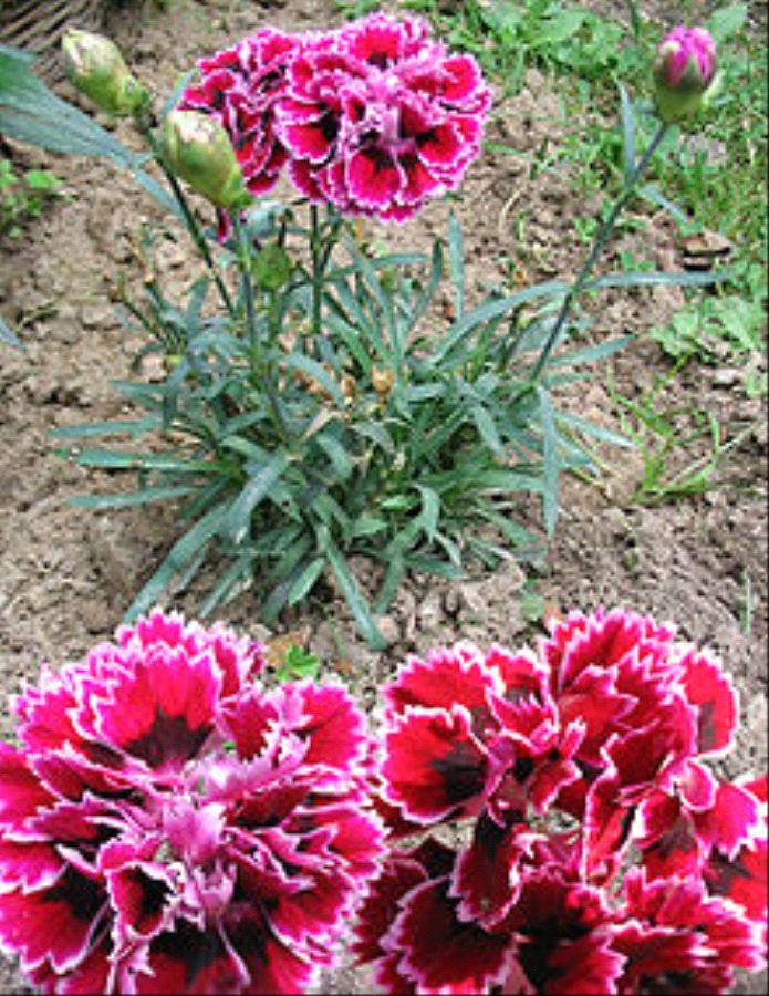 Dianthus-caryophyllus
