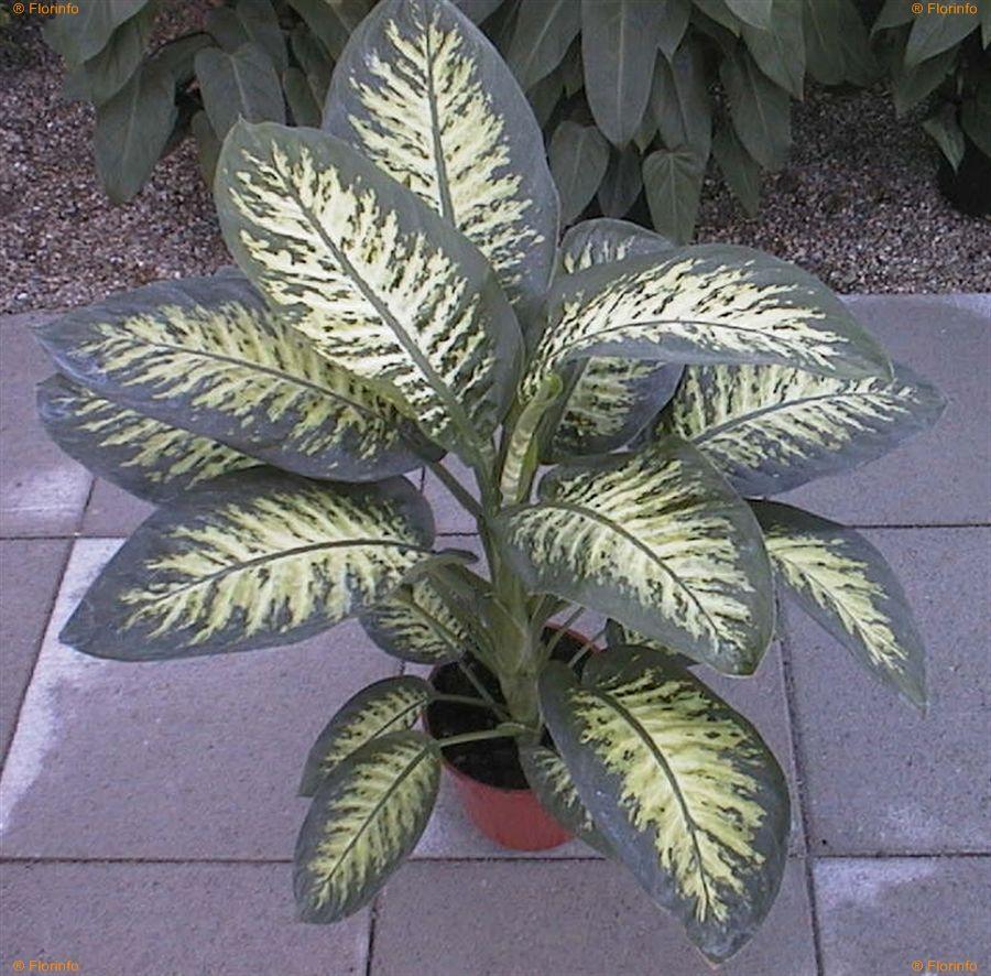 Dieffenbachia-amoena