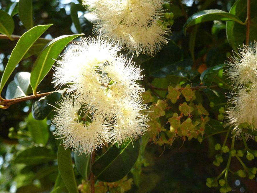Eugenia-myrtifolia