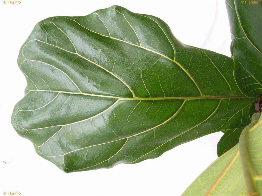 Ficus-lyrata