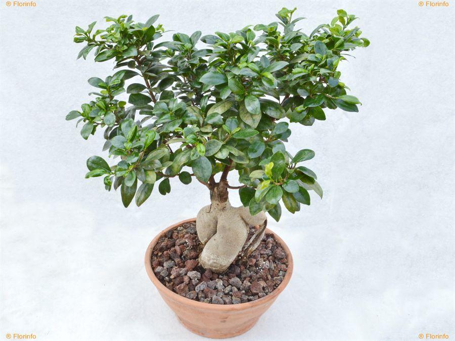 Ficus-retusa-Ginseng