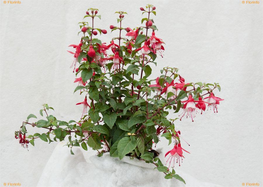 Fuchsia-hybrida