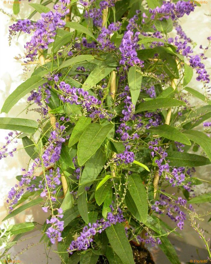 Hardenbergia-violacea