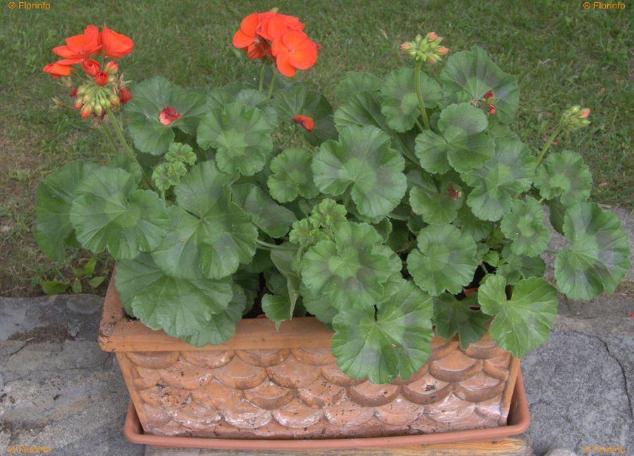 Pelargonium-zonale