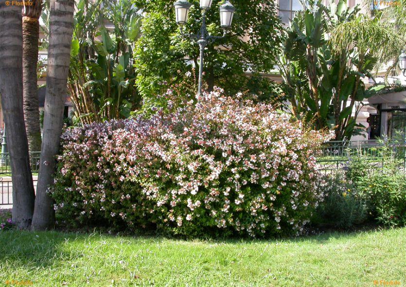 abelia grandiflora abelia lucida 1