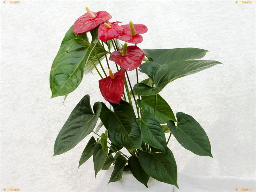 anturio fiori grandi 1